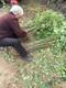 大棚香椿树苗种植时间产品图