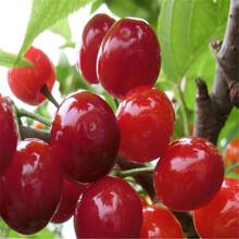 青岛红灯樱桃苗低价供应图片