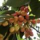 吉塞拉砧木樱桃苗适应性图
