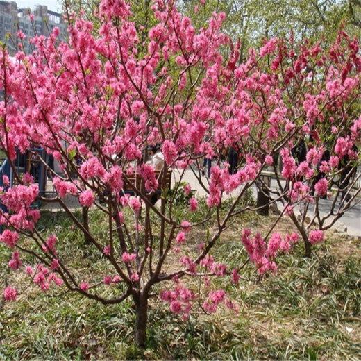 泰安1-8公分綠化紅葉碧桃信譽