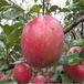 湖南醴陵1年豐園紅杏品種保證