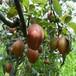 鄢陵縣2年早酥紅梨專業種植模式介紹