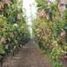 孝感现挖1年秋月梨专业种植模式