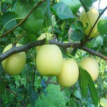 泰安栽培2年晚秋黄梨量大从优图片