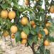 鶴壁栽培2年晚秋黃梨量大從優