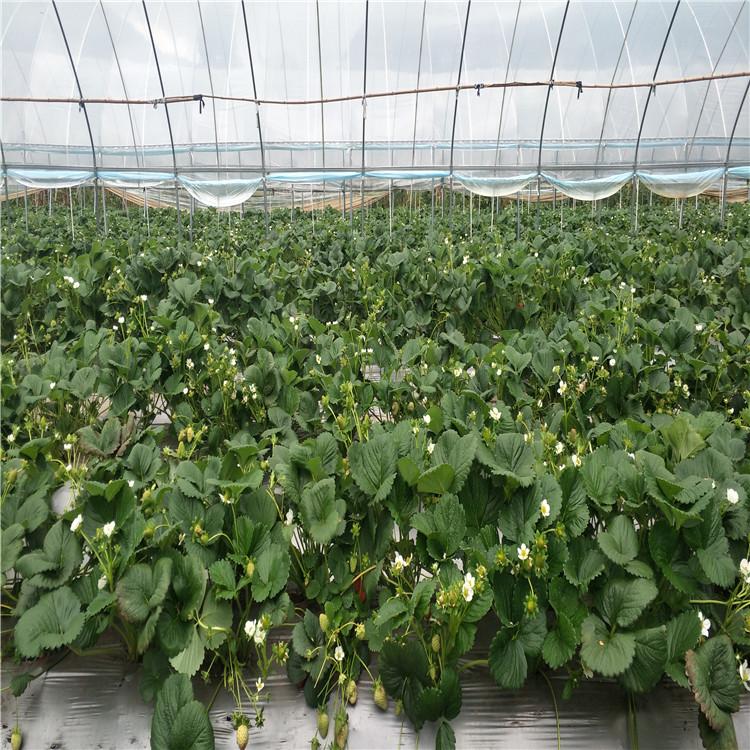 樹苗直發晉城越秀草莓苗價格