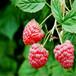 伊犁現挖1年隋珠草莓苗貨源可靠