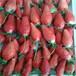 晋城畅销3年香蕉草莓苗品种繁多