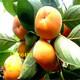 怒江出售2年次郎甜柿近期价格图