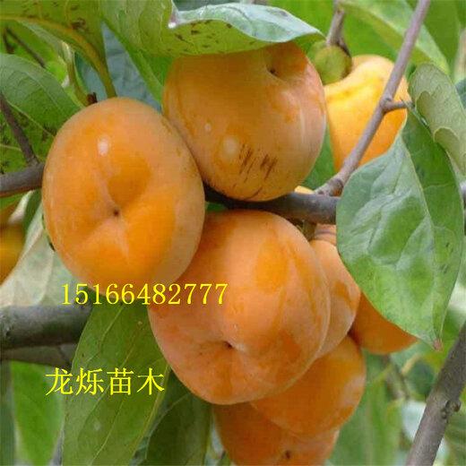 营口供应2年富有甜柿砧木特性