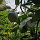 克拉玛依1年大秋甜柿表现及配套技术图