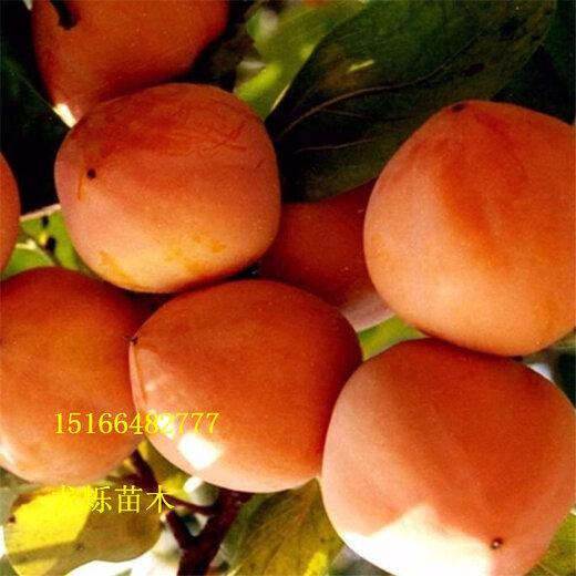 佛山3年黑柿树苗规格及价格