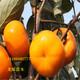 齐齐哈尔出售2年次郎甜柿近期价格图
