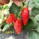 呼和浩特大棚草莓苗图
