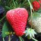 大棚草莓苗图