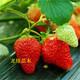 草莓苗养分需求特点图