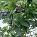 茂名薄霧藍莓壟栽方式及定植技術