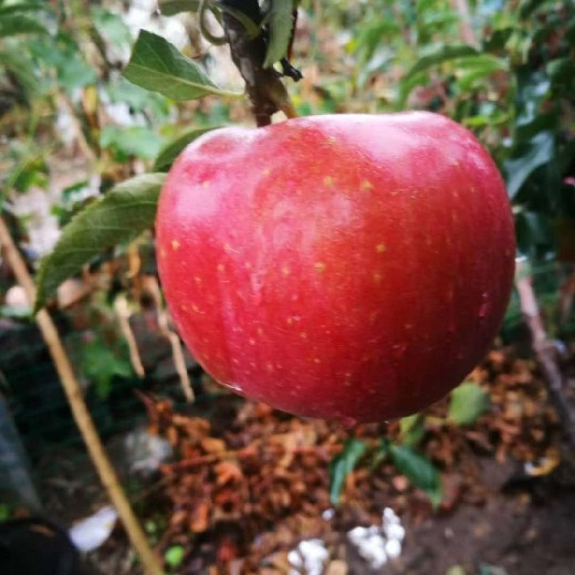 安庆维纳斯黄金苹果挂果期管理