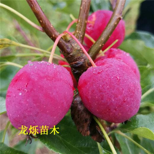 南京1.5米锦绣海棠果实着色快