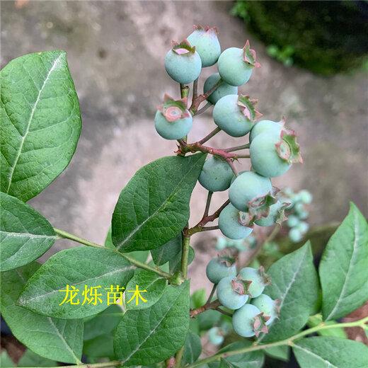 上海绿宝石蓝莓品种配置与定植时间