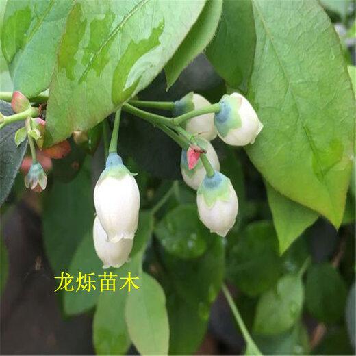 石河子1公分珠宝蓝莓种植气候要求