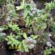 石河子1公分珠宝蓝莓种植气候要求产品图