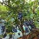 湖州薄雾蓝莓垄栽方式及定植技术图