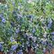 伊犁哈萨克明星蓝莓高产合理密植栽培技术产品图