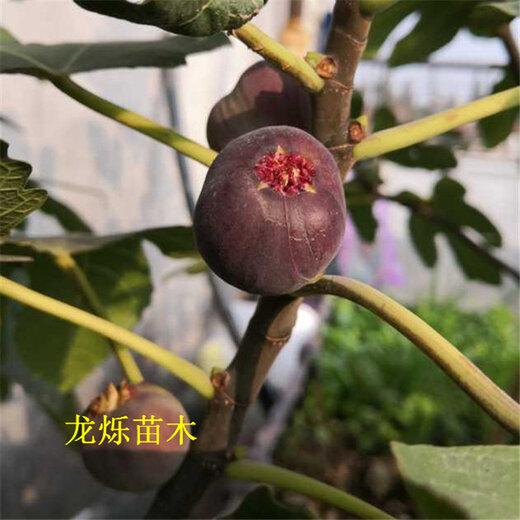 信阳培养2年日本紫果修剪要领