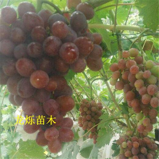 黔南5公分黑珍珠樱桃高产种植技术