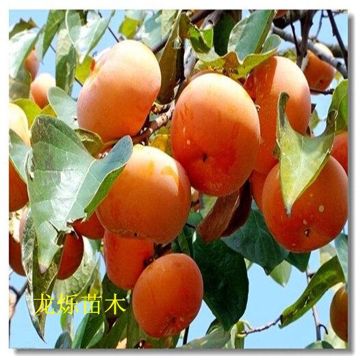 咸阳1年大秋甜柿表现及配套技术