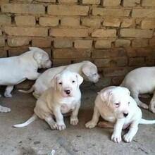 云南普洱杜高犬普洱狗場常年賣純種杜高犬圖片