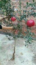 新疆石榴苗种植方法图片
