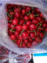 六盘水樱桃苗种植图片