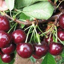 莱芜樱桃苗种植图片