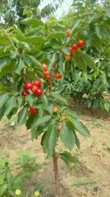 日照樱桃苗种植方法图片