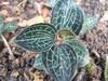 云南嘉农年华滇圣草金线莲种植带来你一生的转变