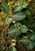 云南嘉农年华滇圣草金线莲种植靠自己的双手来致富