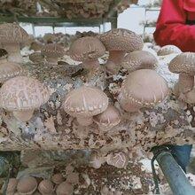 出售菌棒出菇快产量高香菇菌棒厂家直销图片