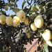 貴州貴陽1公分蛇果幾月成熟