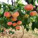 大丰高纯度3公分冬雪蜜桃栽培新技术