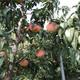 北海出售3公分水蜜桃详细简介图