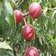 上海栽植5公分中油4号种植密度指导图