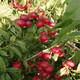 无锡4公分珍珠枣油桃繁育技术指南产品图