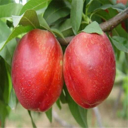 无锡4公分珍珠枣油桃繁育技术指南