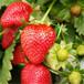 德陽5公分白雪公主草莓質量可靠