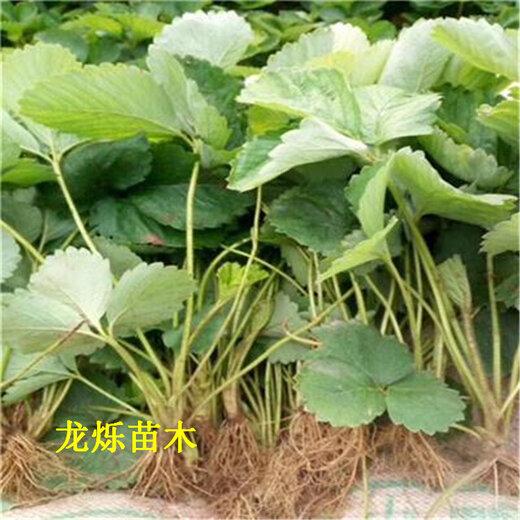 滁州供应5公分草莓苗产量翻倍技术
