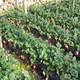 草莓苗产量翻倍技术图