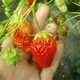 合肥草莓苗图
