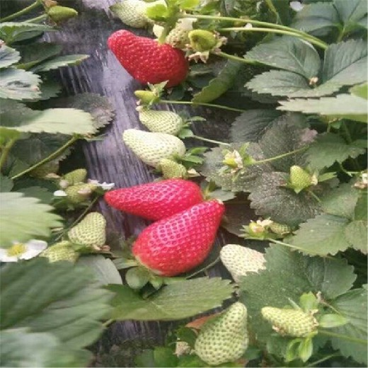 汕头3年草莓苗扣棚后管理要点